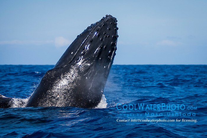 humpback whale, Megaptera novaeangliae, blowing as it breaches, Hawaii, USA, Pacific Ocean