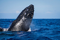 humpback whale, Megaptera novaeangliae, blowing as it breaches, Hawaii, USA, Pacific Ocean