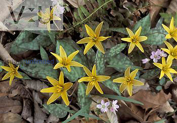 Golden Star Lily ,Erythronium rostratum,, Ohio, USA.