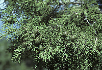 Phoenician Juniper Juniperus phoenicia (Cupressaceae) HEIGHT to 8m. Small evergreen tree, or a spreading shrub. LEAVES Scaly twigs bear 2 types of leaves. Young leaves are up to 1.5cm long and 1mm wide, sharply pointed, showing pale bands on both surfaces; in bunches of 3 spreading at right-angles. Mature leaves are only 1mm long, resembling tiny green scales clasping the twig. REPRODUCTIVE PARTS Male cones are inconspicuous and borne at ends of shoots, female cones are up to 1.4cm long, rounded and ripening from black through yellowish-green to a deep red in second year. STATUS AND DISTRIBUTION Native of Mediterranean coasts and Atlantic shores of Portugal. Found in old collections in our region.