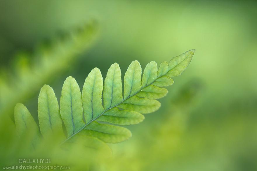 Common Polypody fern (Polypodium vulgare) Isle of Mull, Scotland, UK. June.