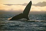 Humpback whale, Pt. Adolphus, Alaska