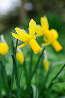 Narcissus - Check with Olive Mason
