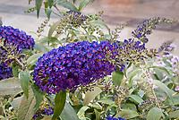 Buddleja 'Buzz Indigo' dwarf patio butterfly bush with intense colors, Buzz series buddleia