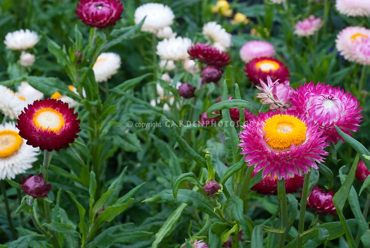 Helichrysum bracteatum monstrosum Tall Mixed strawflowers