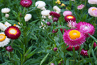 Helichrysum bracteatum monstrosum Tall Mixed strawflowers