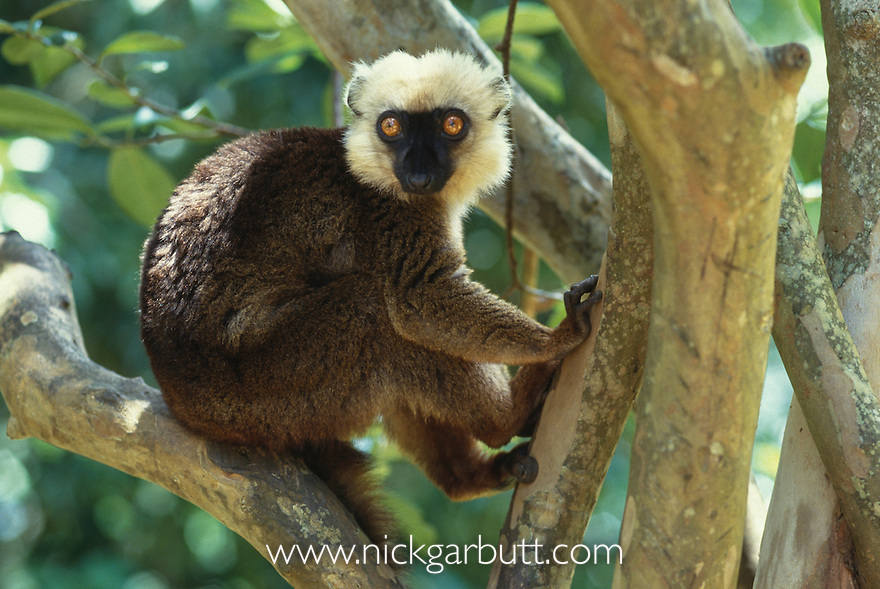 Adult male White-fronted Brown Lemur (Eulemur albifrons) in forest canopy. Marojejy National Park, north east Madagascar.