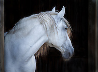 Grey Lusitano stallion portrait