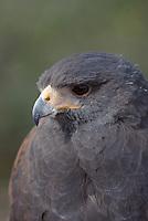 Harris's  Hawk (Parabuteo unicinctus) seen up close in southern  Arizona's Sonoran Desert Museum.