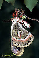 LE03-040x  Cecropia Moth - adult emerging from cocoon - Hyalophora cecropia