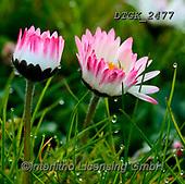 Gisela, FLOWERS, BLUMEN, FLORES, photos+++++,DTGK2477,#f#, EVERYDAY