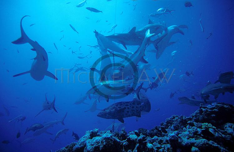 Sharks overhead at shark feed.Great Barrier Reef, Queensland, Australia