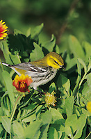 Black-throated Green Warbler, Dendroica virens,female, South Padre Island, Texas, USA
