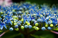 Detail of the opening buds of an ornate blue hydrangea blossom, Japan.