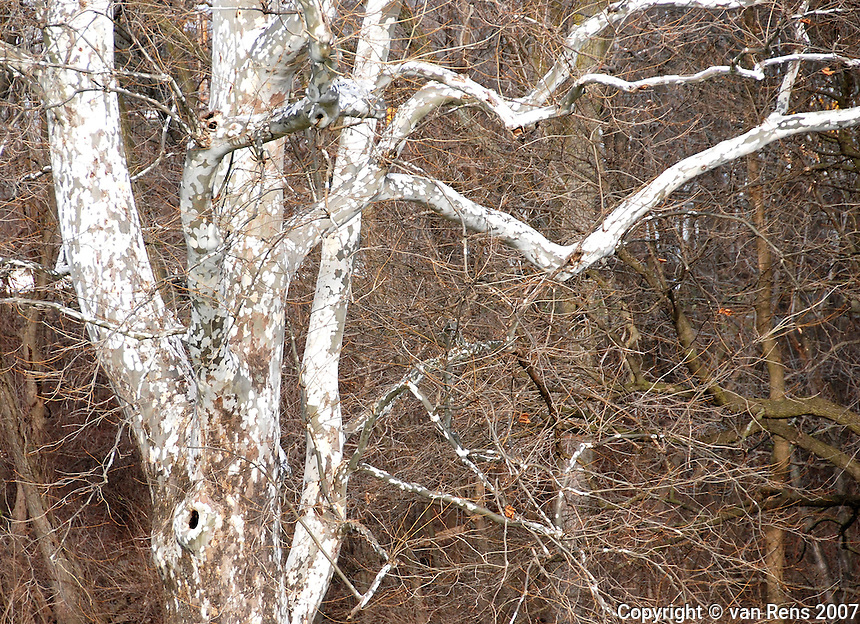 Sycamore tree detail