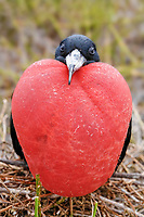 magnificent frigatebird, Fregata magnificens, adult, male with inflated, red gular pouch for courtship display, Genovesa Island, Tower Island, Galápagos Archipelago, Ecuador, South America
