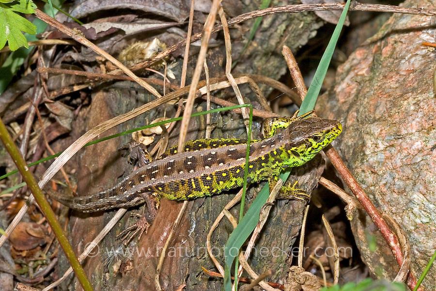 Zauneidechse, Zaun-Eidechse, Lacerta agilis, sand lizard, Lézard des souches