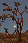 Joshua tree and moonrise