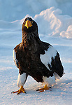 A wildlife image of a Stellars Sea Eagle on the ice pack in Japan.