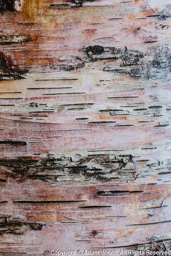 Colorful birch tree pattern, Miners Beach, Pictured Rocks National Lakeshore, Upper Peninsula, Michigan