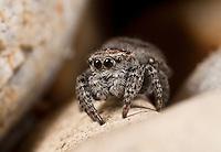 Sitticus inexpectus (Salticidae) - Female.