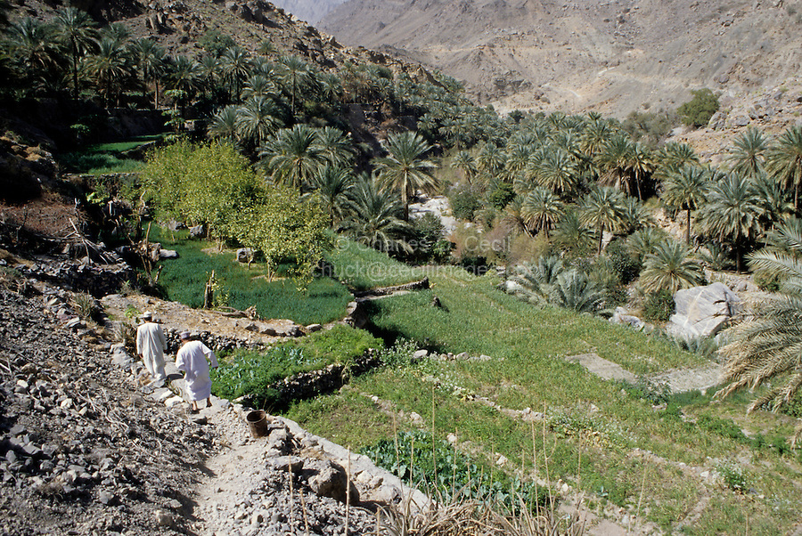 Wadi Bani Kharus, Oman, Arabian Peninsula, Middle East - Terraced fields benefitting from irrigation by aflaj (singular, falaj), a water distribution system whereby mountain spring water is conveyed to fields through a system of canals and channels.  The aflaj systems are aaid to date back to a Persian origin.  Through their use, even dry, arid mountain valleys can feed people making their homes in these areas that, in former times, offered refuge from unfriendly raiders and invaders.  These fields contain date palms, onions, garlic, beans, and other vegetables.