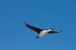 Cormorant/Shag