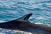 Fin Whale Balaenoptera physalus close up of Dorsal fin showing diatom growth and scars on skin Spitsbergen Arctic Norway North Atlantic