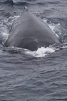 Humpback whales (Megaptera novaeangliae) surfacing head on. White Island, Svalbard archipelago, Arctic Ocean