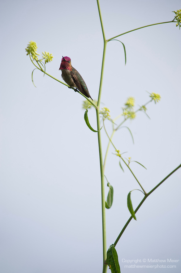 La Jolla Cove, San Diego, California; an adult Anna's Hummingbird (Calypte anna) standing on the branch of a yellow wildflower plant