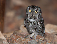 The majority of Western Screech Owls are of the gray phase.  The exception being Western Screech Owls at the wetter climates on the Pacific coast.