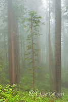 Redwoods, Coastal Fog, Damnation Creek, Del Norte Redwoods State Park, Redwood National and State Parks, California