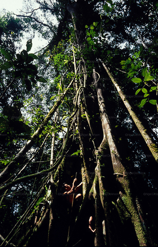Asia, South East Asia, Borneo, Sarawak. Penan, nomadic hunter-gatherers seek prey in the branches of their tropical rainforest. Dayak peoples of Borneo. 1991.'MEAT' across the World..foto © Nigel Dickinson