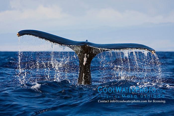 Humpback Whale, Megaptera novaeangliae, fluke-up dive, Hawaii, Pacific Ocean.