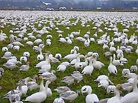 Snow Geese in Skagit Valley Washington