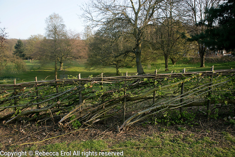 Layered hedge at Lesnes Abbey woods, southeast London, UK.