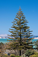 Norfolk Pine, Napier, north island, New Zealand.