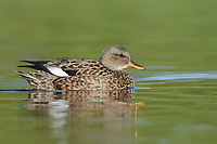 Adult female Gadwall (Anas strepera). King County, Washington. April.