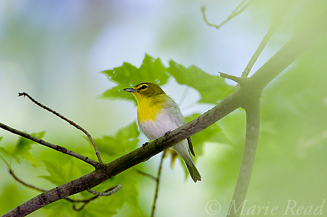 Yellow-throated Vireo (Vireo flavifrons), New York, USA<br /> AnimalsAnimals