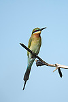 Blue-tailed bee-eater (Merops philippinus) perched, Sri Lanka