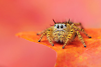 Jumping Spider (Salticidae), perched on Bigtooth Maple (Acer grandidentatum), Lost Maples State Park, Hill Country, Central Texas, USA