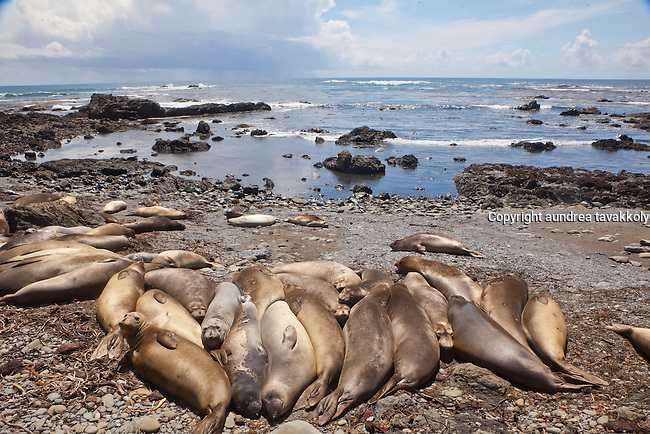 Elephant seals lounging on the beach in Central California, San Luis Obispo county, California
