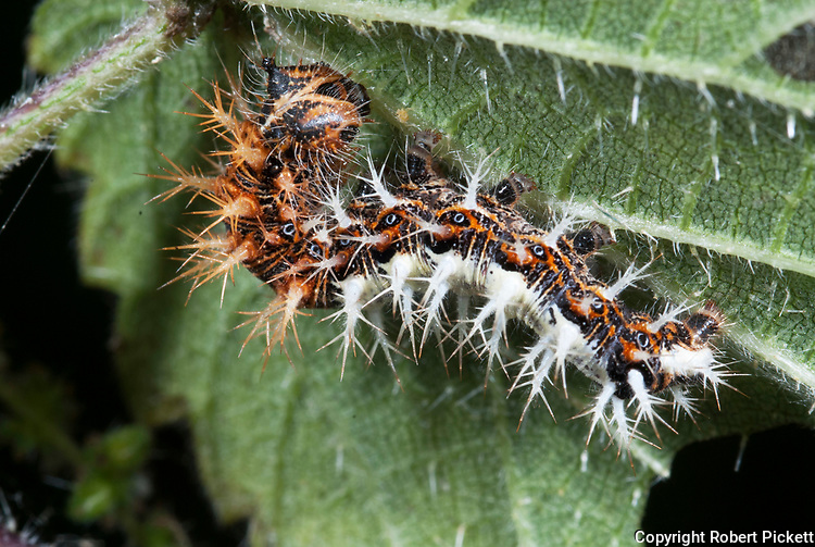 Comma Butterfly, Caterpillar, Polygonia c-album, larvae, feeding on stinging nettle, brown, white, spiky,