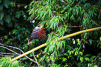 Hoatzin (Opisthocomus hoazin) in the Amazon Rainforest of Ecuador, South America