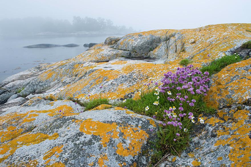 Chives (Allium schoenophrasum) in the Kanholmsfj&auml;rden.<br /> Stockholm Archipelago, Sweden