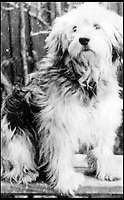 BNPS.co.uk (01202 558833)<br /> Pic:   ImperialWarMuseum/BNPS<br /> <br /> Ricky, a Welsh Sheepdog, suffered head injuries and damaged hearing after a mine exploded killing his commander, but he managed to help the remaining men to safety.<br /> <br /> The remarkable stories of the 71 heroic animals who have received the pet equivalent of the Victoria Cross are told in a new book.<br /> <br /> They include a dog who dragged his drowning handler to safety in a torrent of shells and machine gun fire and a carrier pigeon which flew 120 miles to raise the alarm for a bomber crew who had crashed into the sea.<br /> <br /> Their courageous acts, and others involving dogs, cats, pigeons and horses, feature in history teacher Philip Hawthorne's book, The Animal Victoria Cross: The Dickin Medal.