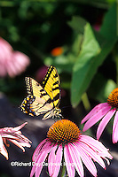 03023-02020 Eastern Tiger Swallowtail (Papilio glaucus) on Purple Coneflower (Echinacea purpurea) Marion Co.  IL