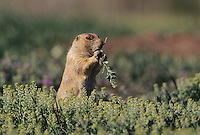 Black-tailed Prairie Dog (Cynomys ludovicianus), adult eating, Colorado, USA