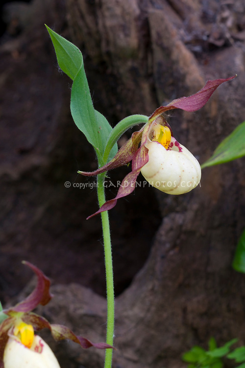 Cypripedium Inge Orchid Ladyslipper hybrid (parviflorum x fasciolatum) single flower