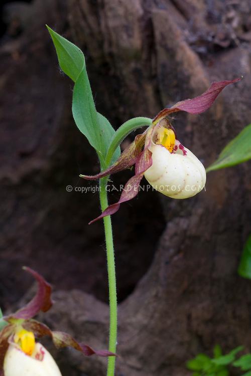 Cypripedium Inge Orchid Ladyslipper hybrid (parviflorum x fasciolatum) single flower